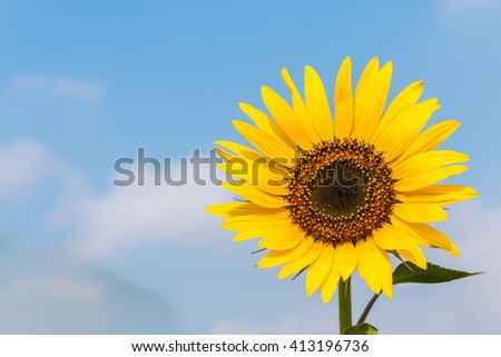 Blooming sunflower in the blue sky background - stock photo