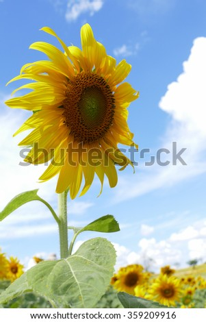 blooming sunflower in the field with blue sky background