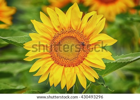 Blooming Sunflower with Bee on It - stock photo