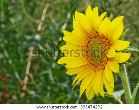 Blooming sunflowers on a green background , with copy text. Sunflower close up - yellow petals and the background of green grass. - stock photo