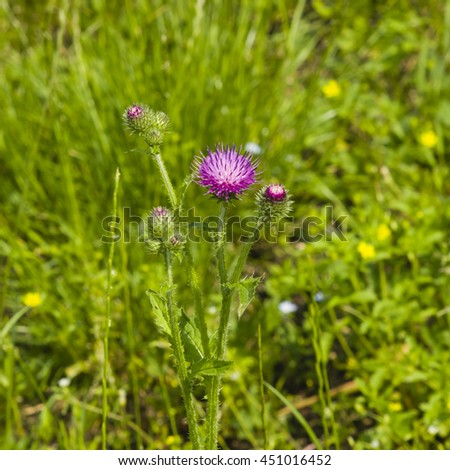 Blooming Thistle, Carduus, flowers and buds on stem macro with bokeh background, selective focus, shallow DOF - stock photo