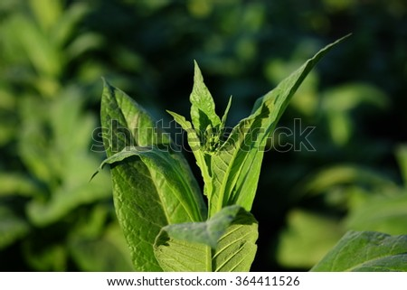 Blooming tobacco plants with leaves, flowers and buds , Thailand - stock photo