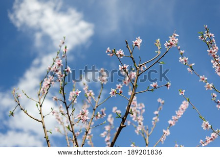 blooming tree branch against the blue sky