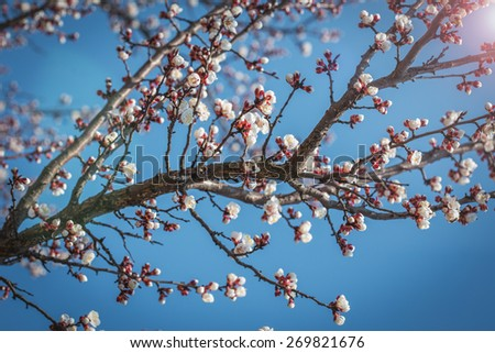 Blooming tree in spring