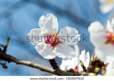 Blooming tree in spring with white almond flowers