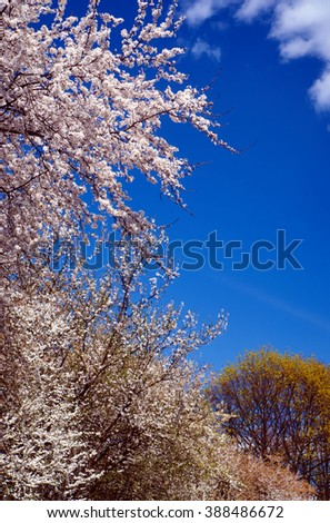 Blooming tree on a background of blue sky in Poland