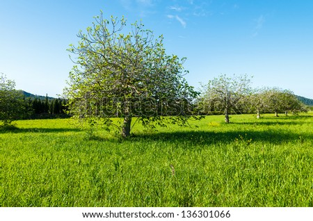 Blooming tree on green field in spring time, Majorca island, Spain - stock photo