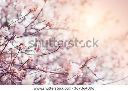 Blooming tree with pink flowers at morning sunshine. Soft focus. Spring blossom background - stock photo
