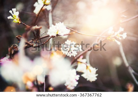 Blooming tree with pink flowers at morning sunshine. Soft focus. Spring blossom background