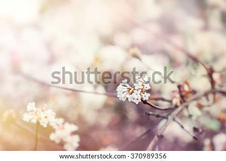 Blooming tree with white flowers. Soft focus. Spring flowers background - stock photo