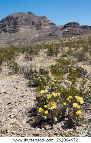 Blooming  tulip prickly pear (Opuntia phaeacantha), creosote bush in the desert of Chihuahua in the National Park Big Bend spring - stock photo