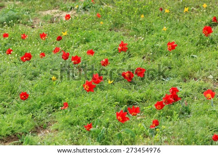 Blooming tulips and irises in the steppe on a hurricane, Rostov region, Russia,  - stock photo