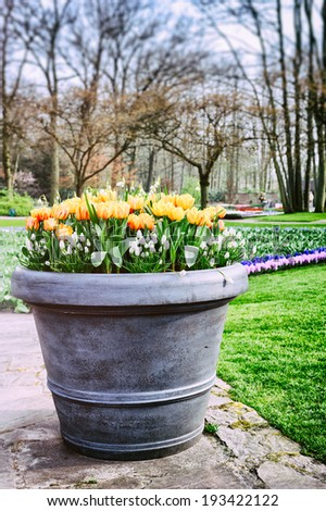Blooming tulips in big flower pot. Keukenhof garden, Netherlands  - stock photo