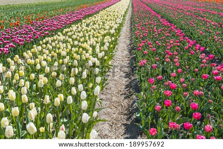 Blooming tulips in different colors in a Dutch field on a sunny spring day.