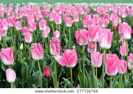 blooming tulips on a tulip field in the spring