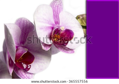 Blooming Twig Of Orchid Isolated On White Background. - stock photo