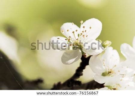 blooming twig of plum tree - stock photo