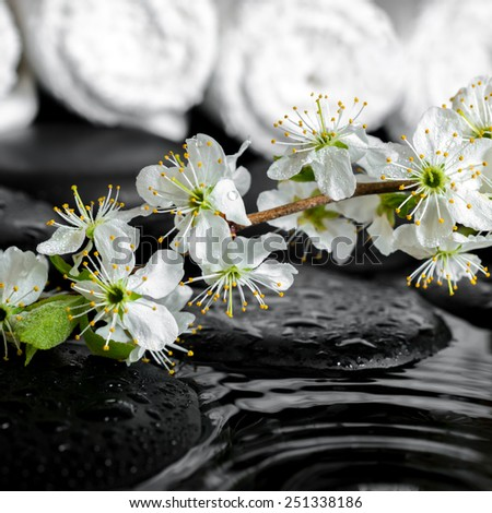 blooming twig of plum, white towels on zen stones with ripple reflection water, spa background, closeup - stock photo