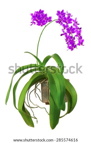 Blooming twig of purple orchid in flower pot isolated on white background. Closeup. - stock photo