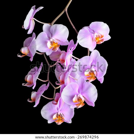 Blooming twig of purple orchid phalaenopsis is isolated on black background, closeup  - stock photo
