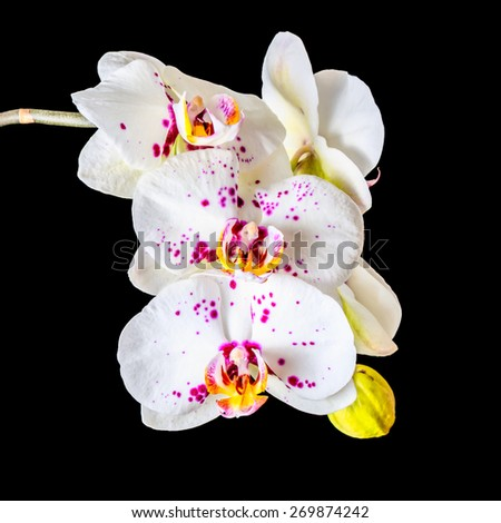 Blooming twig of white orchid phalaenopsis with lilac spots is isolated on the black, closeup  - stock photo