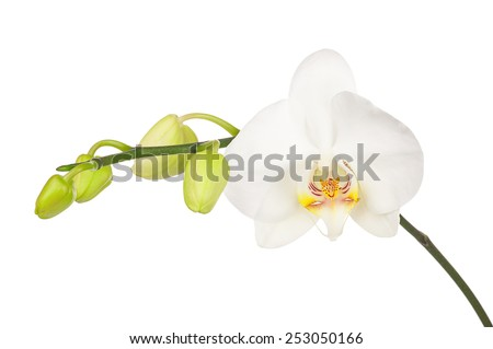Blooming twig of white orchid with bandler isolated on white background. Closeup.   - stock photo