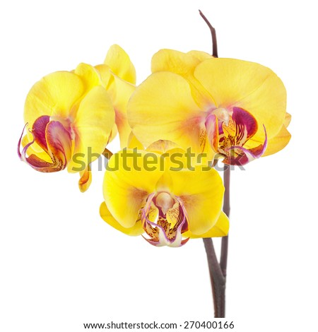 Blooming twig of yellow purple orchids isolated on white background. - stock photo