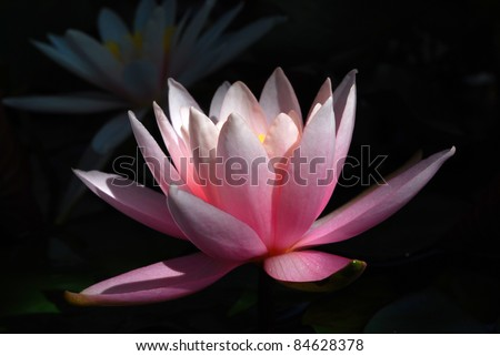 Blooming Water Lily on Blcak Background - stock photo