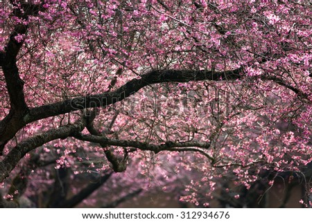 Blooming whitcomb cherry in spring - stock photo