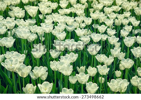 Blooming white flowers tulips on the flowerbed - stock photo