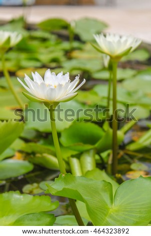 Blooming white lotus in the pool