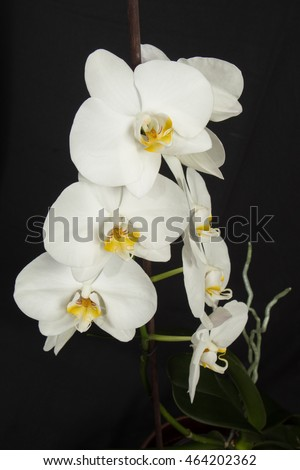 blooming white orchid with leaves and roots on a black background