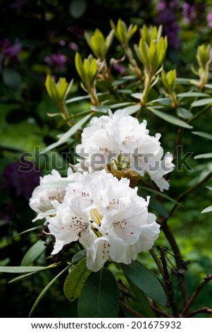 Blooming white rhododendron - stock photo