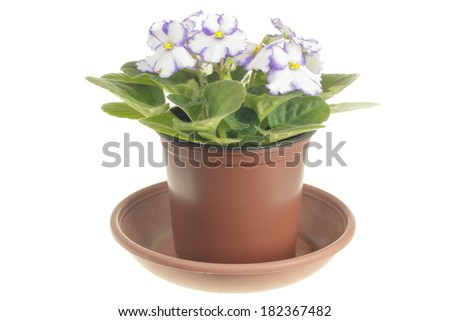 Blooming white violet in brown pot isolated on white background - stock photo