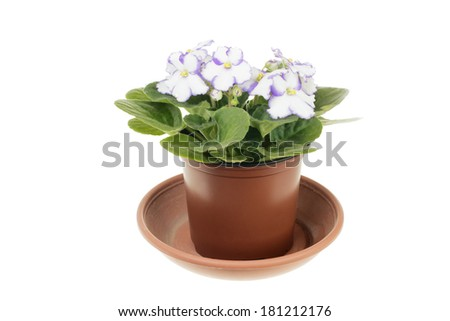 Blooming white violet with violet edges of the petals isolated on white background - stock photo