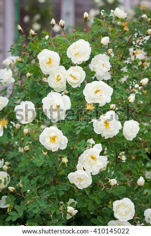 Blooming white wild rose bush - stock photo