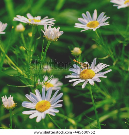 Blooming wild chamomile in the field. Insect sitting on a chamomile flower - stock photo