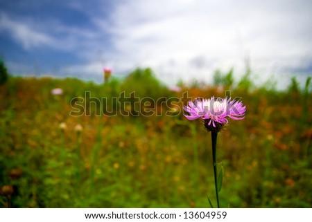 Blooming wildflower closeup - stock photo