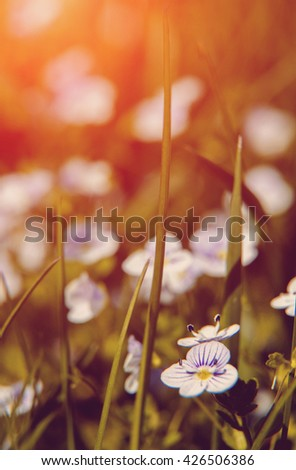 Blooming wildflowers in a meadow. close up. Lilac blooming Cardamine pratensis against the blurred natural background of a rural field. small depth of field. soft light effect - stock photo