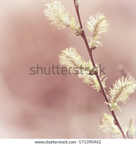 Blooming willow branch in springtime, seasonal easter background.