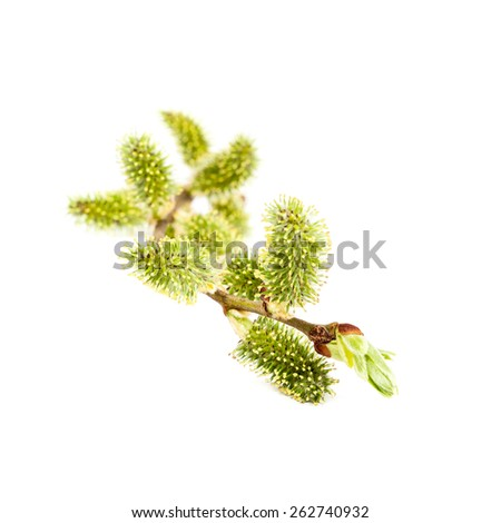 Blooming willow branch isolated on white background. - stock photo