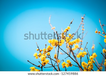 blooming wintersweet flower with blue sky - stock photo