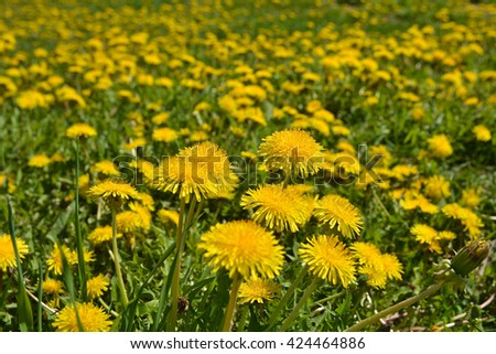 Blooming yellow dandelions in the spring meadow. Bright flowers dandelions on background of green meadows. - stock photo