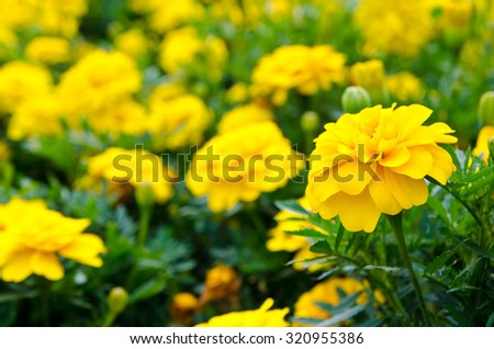 blooming yellow flowers in a garden - stock photo