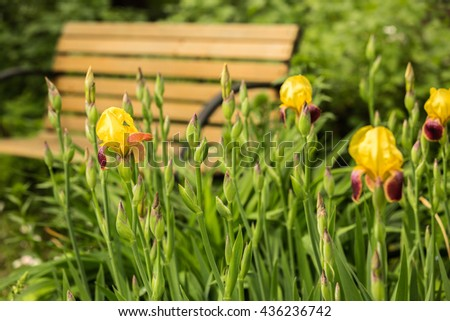 Blooming yellow irises in the garden in front of bench - stock photo