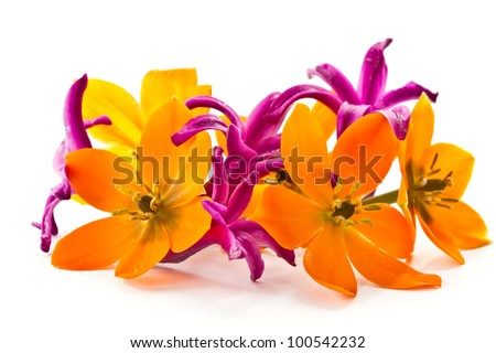 blooming yellow Ornithogalum Dubium on a white background - stock photo