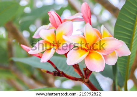 Blooming Yellow Plumeria (frangipani), Plumeria common name Frangipani is a genus of flowering plants in the dogbane family, Apocynaceae. - stock photo