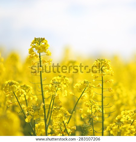 Blooming yellow rape flowers - stock photo