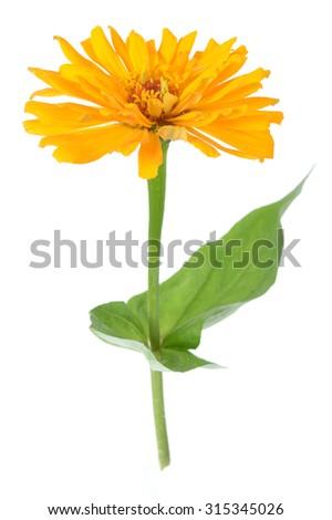 blooming yellow zinnia flower isolated on white  - stock photo