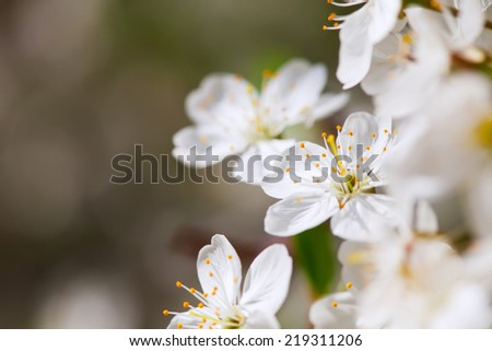 blooms tree branch in spring against  blur background   with copyspace - stock photo